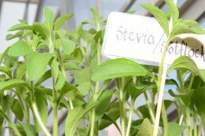 Salvia och andra kryddor